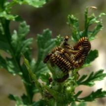 Sint jacobsvlinder